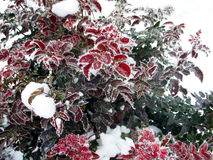 Mahonia aquifolium Stock Photography