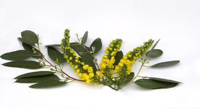 Mahonia auf Eukalyptus-Spray Lizenzfreies Stockbild