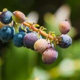 Mahonia Berries. A macro shot the berries of a mahonia japonica bush stock photography
