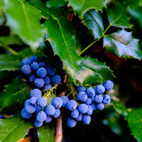 Mahonia with berries detail Stock Images
