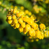 Mahonia Bloom Royalty Free Stock Photos