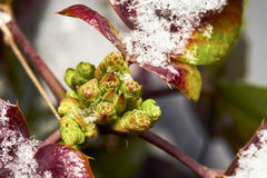Mahonia buds Royalty Free Stock Image