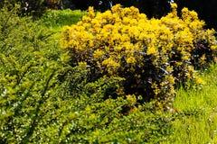 Mahonia bush in park Stock Image