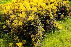 Mahonia bush in park Royalty Free Stock Image