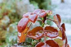 Mahonia covered with ice Royalty Free Stock Images