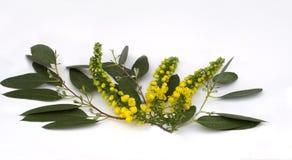 Mahonia en aerosol del eucalipto Imagen de archivo libre de regalías
