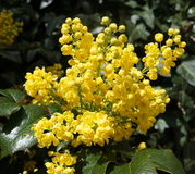 Mahonia flowers Royalty Free Stock Image