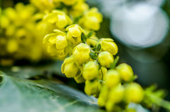 Mahonia flowers close up Stock Photo