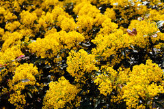 Mahonia flowers in the park Royalty Free Stock Photo