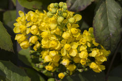 Mahonia  in the garden Stock Photos