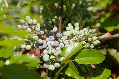 Mahonia Holm, branch with berries. Mahonia Holm (lat. Mahonia aquifolium), branch with berries, local focus, shallow DOF Royalty Free Stock Photos