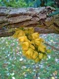 Mahonia Japonica através de uma árvore Fotos de Stock