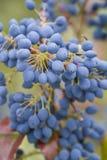 Mahonia- Mahonia aquifolium Stock Photo