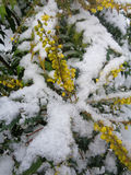 Mahonia shrub with yellow flowers, covered with snow stock image