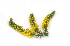 Mahonia Spray Stock Photography