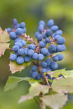 Mahonie- mahoni aquifolium Obraz Stock