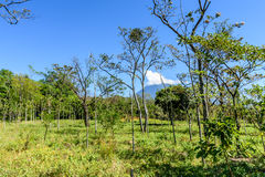 Mahoniowego drzewa saplings & Agua wulkan Zdjęcie Royalty Free