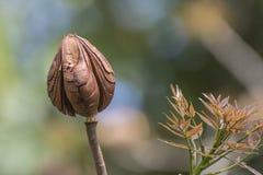Mahoniowy strąk Zdjęcie Royalty Free