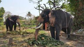 Mahout кормить угрожаемый индийский слона в виске стоковое изображение rf