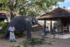一头礼仪大象站立与它的在神圣的牙遗物复合体的寺庙的内mahout在康提在斯里兰卡 免版税图库摄影