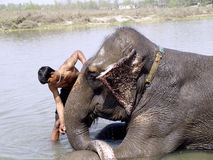 Mahout cleaing his elephant Royalty Free Stock Image