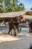 Mahout climbing on elephant for show for tourists at Maesa Elephant camp, Chiang Mai, Thailand royalty free stock image