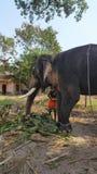 Mahout die Bedreigde Indische Olifant in Tempel voeden royalty-vrije stock foto