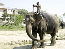 Mahout in Elephant Stock Photo