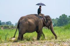Mahout- eller elefantryttare med paraplyet som rider en kvinnlig elefant arkivbild