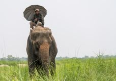 Mahout- eller elefantryttare med paraplyet som rider en kvinnlig elefant royaltyfri fotografi