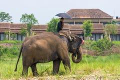 Mahout- eller elefantryttare med paraplyet som rider en kvinnlig elefant arkivbilder