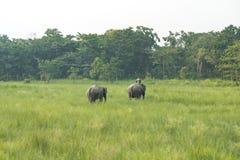 Mahout- eller elefantryttare med två elefanter arkivfoto