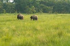 Mahout- eller elefantryttare med två elefanter arkivfoton