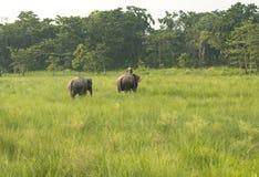 Mahout- eller elefantryttare med två elefanter arkivbilder