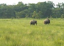 Mahout- eller elefantryttare med två elefanter royaltyfria foton