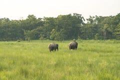 Mahout- eller elefantryttare med två elefanter arkivbild