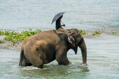 Mahout- eller elefantryttare som rider en kvinnlig elefant i floden royaltyfri bild
