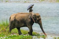 Mahout- eller elefantryttare som rider en kvinnlig elefant i floden fotografering för bildbyråer