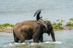 Mahout- eller elefantryttare som rider en kvinnlig elefant i floden arkivfoto