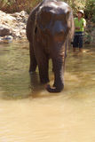 Mahout gives  elephant  bath Royalty Free Stock Image
