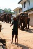 Mahout with his elephants walking to the Maha Oya River. Pinnawala Elephant Orphanage. Sri Lanka. Pinnawala Elephant Orphanage is an orphanage, nursery and royalty free stock images