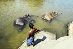 Mahout with his ephants in park Pinnawela Stock Image
