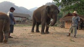 Mahout 4K que alimenta al elefante asiático y al bebé en campo del bosque tropical almacen de metraje de vídeo