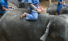 A mahout ride elephant Stock Photo
