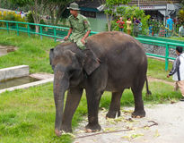 Mahout rides on an elephant in Zoo Stock Photography