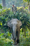 Mahout riding domestic elephant in nepali jungle Royalty Free Stock Image