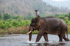 Mahout riding elephant in the river. Kanchanaburi, Thailand - February 27, 2011: Unidentified mahout rides his elephant walking in the shallow river Royalty Free Stock Photography
