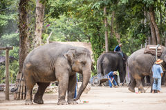 Mahout show how to train elephant in forestry industry. Lam Pang, Thailand Royalty Free Stock Photos