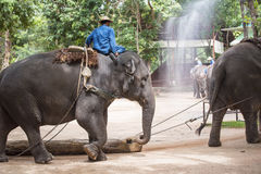 Mahout show how to train elephant in forestry industry. Lam Pang, Thailand royalty free stock image