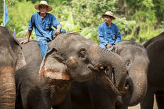 Mahout show how to train elephant in forestry industry. Royalty Free Stock Photos
